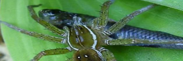 Se descubren arañas que se alimentan de peces en todo el mundo