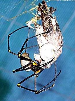 Arañas gigantes devoran pájaros, aranas comiendo pajaros