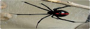 Arácnidos venenosos en Argentina, se encuentran en el grupo de animales venenosos