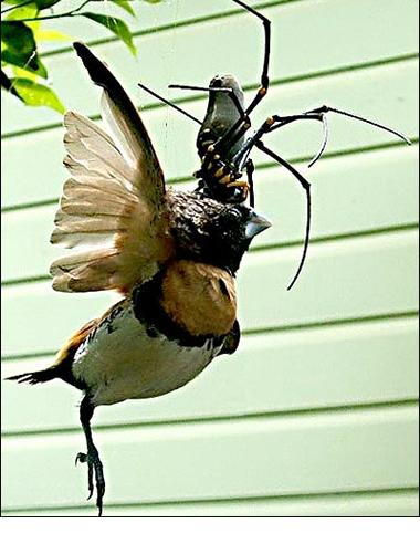 Arañas gigantes devoran pájaros en los árboles