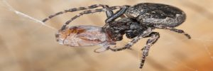 No solo de insectos viven las arañas, comen polen