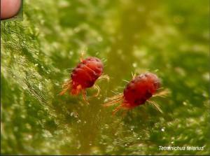 acaros rojos de plantas, fumigacion
