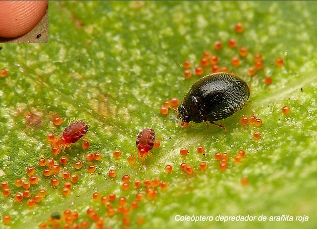 Araña roja, arañita roja fumigacion. Imagen arañita roja