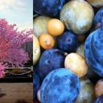 Crean árbol que da 40 frutas distintas