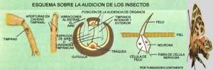 Oido insectos, audicion