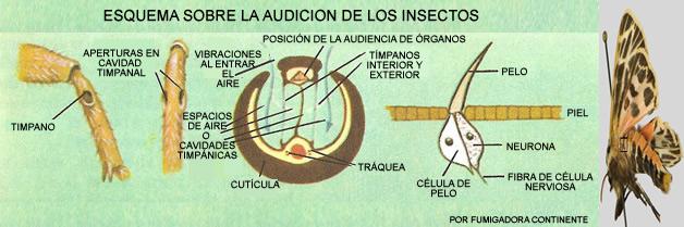 ¿Pueden oír los insectos, y como lo hacen?