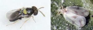 La mosca blanca controlada por una avispa. Un nuevo avance muestra la pequeña avispa.