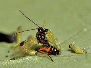 avispa-parasitoide-fumigaciones