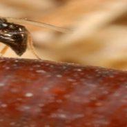 Como eliminar moscas ecológicamente utilizando solo avispas