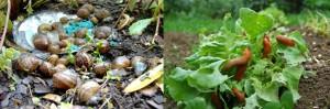 Lanzan un nuevo cebo mortal para caracoles y babosas, un producto mejor