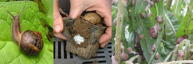 Caracol de jard n fumigadora continente for Caracol de jardin alimentacion