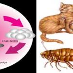 La pulga del gato