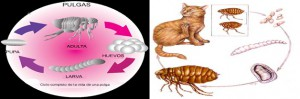 ciclo-vida-pulga-gato