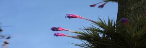 El Clavel del Aire, es invasivo en plantas y arboles