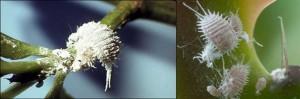 cochinilla-fumigacion-plantas