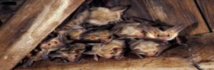 control de murciélagos en taparollos, ventanas, cortinas