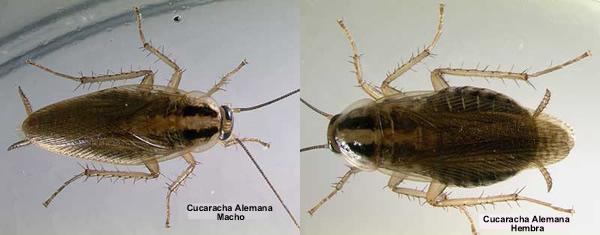 Cucaracha germanica hembra y macho