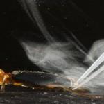 Un escarabajo que produce un impactante spray defensivo