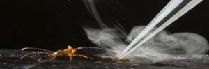 Un escarabajo que produce un impactante spray defensivo, los mecanismos de defensa