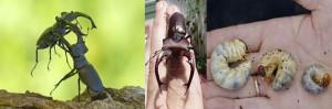 Escarabajo ciervo gigante, El escarabajo ciervo gigante, peleando