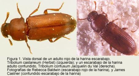 Escarabajo castaño de la harina. Destruyen los productos almacenados