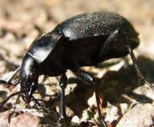 escarabajo-tierra