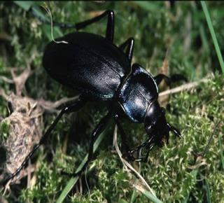 Escarabajo tierra fumigadora continente for Insectos del jardin
