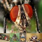 Las verdaderas moscas Diptera