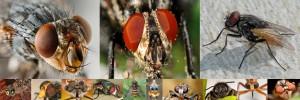 Las verdaderas moscas Diptera, Moscas Diptera Especies