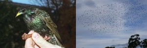 El estornino común preocupa en Argentina, este ave causa enfermedades