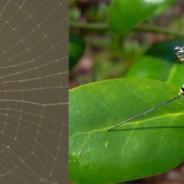 Arañas parasitadas por avispas