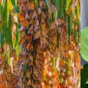 Secretos de la brújula interna de la mariposa monarca