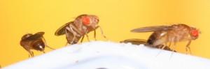 Importante hallazgo sobre como las moscas atraen a otras moscas con feromonas
