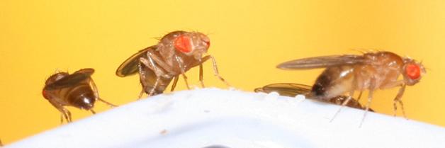 Importante hallazgo sobre como las moscas atraen a otras moscas