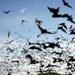 Entre los animales, el mejor cantante romántico es el murciélago macho