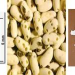 Gorgojo de la harina