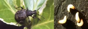 Gorgojo de la vid, ataca plantas