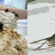 Grillos afectados por virus pero vigorizados sexualmente