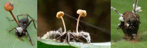 Hormigas mueren como zombis por un hongo, el hongo crece en el cuerpo de la hormiga y la cabeza