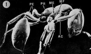 Especies de hormiga Colorada