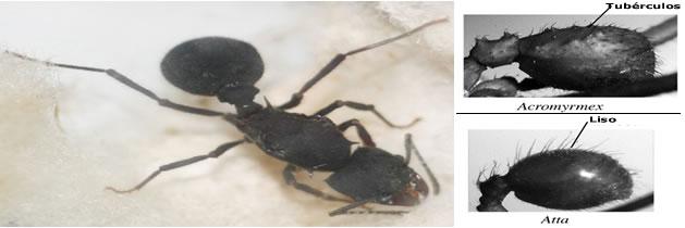 Hormiga negra