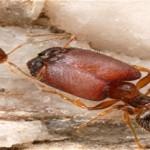 Las hormigas cabezonas crecen mas grandes cuando se enfrentan a feroces competidores