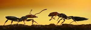 Las hormigas responden a la información social en reposo, no sobre la marcha.