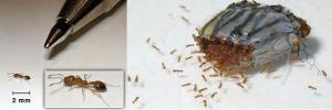las hormigas faraon