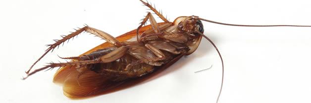Las cucarachas y sus enfermedades