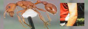 hormiga. Insecto venenoso