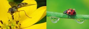 Los 5 mejores Insectos para su césped y jardín. Estos insectos que parecen avispas son grandes depredadores
