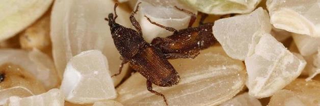 Control de Insectos en Granos Almacenados