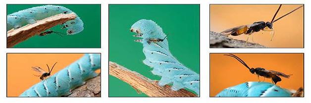 Los Insectos Parasitoides