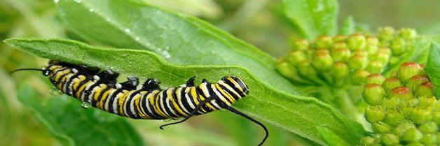 Los insectos pueden con una dieta tóxica?